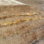 農地開拓3回目 メークインの種芋植え