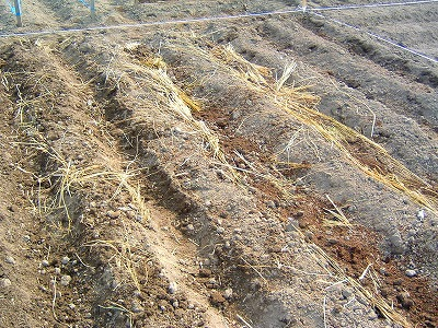 敷き藁と種芋