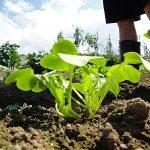 農地開拓 大根の間引き