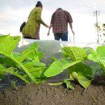家庭菜園 大根の成長適温