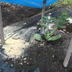 黄玉、大玉スイカを植えました