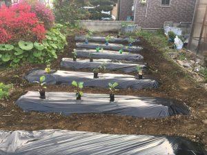 大量の野菜をまとめて植えました