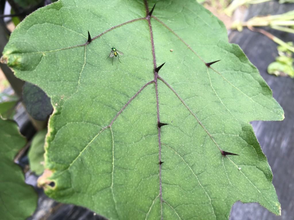 なすの葉のトゲ