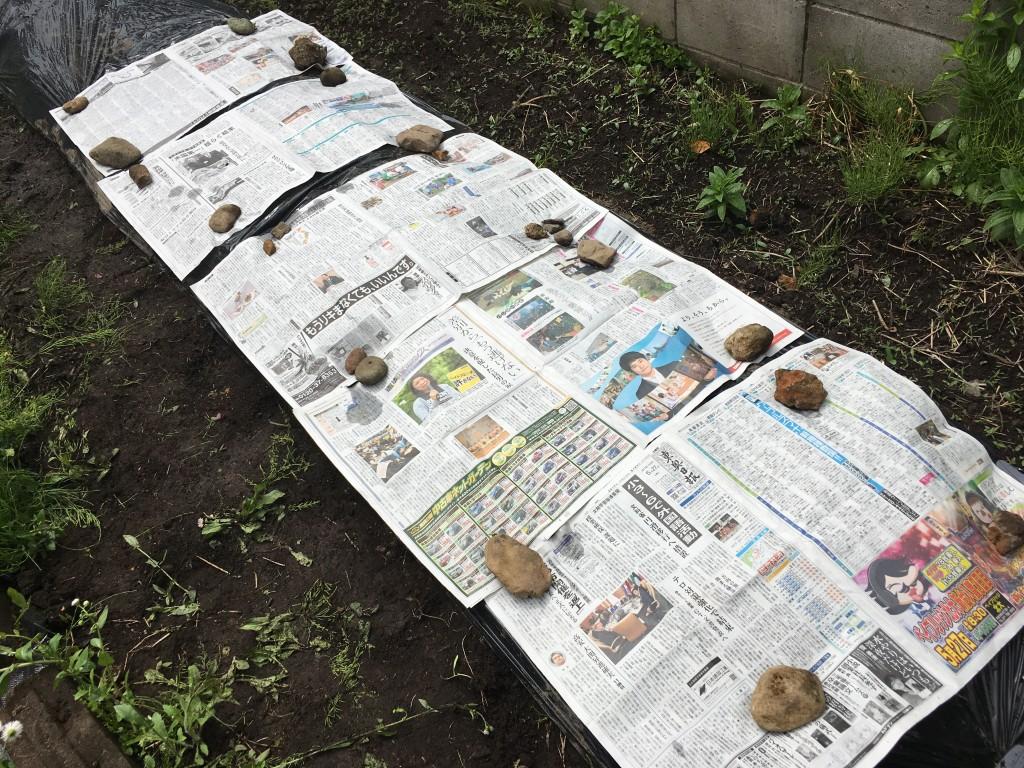 にんじんの芽だし 新聞紙