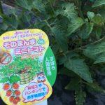 そのまんまミニトマトが凄まじくズボラに成長中